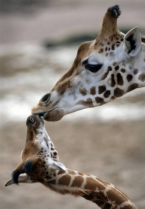 animals_and_their_mothers_6
