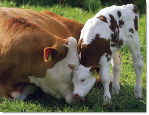 mother-baby-cow