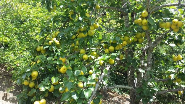 Pear Galette1