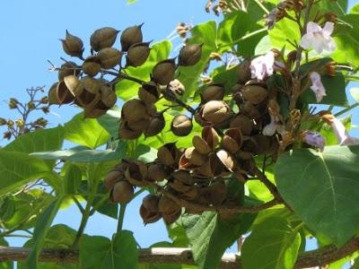 Paulownia+tomentosa+seed+pods.jpg (400×300)