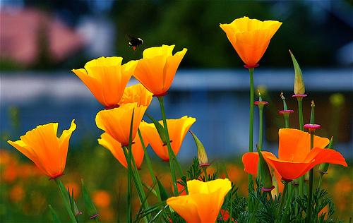california-poppy.jpg (500×316)